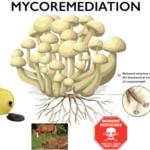 Mycoremédiation